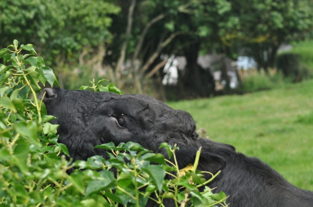 Young Bull Eating My Hedge
