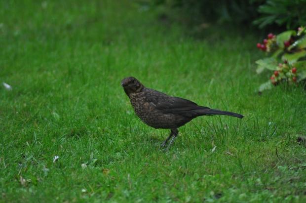 Juvenile  Blackbird in the Garden