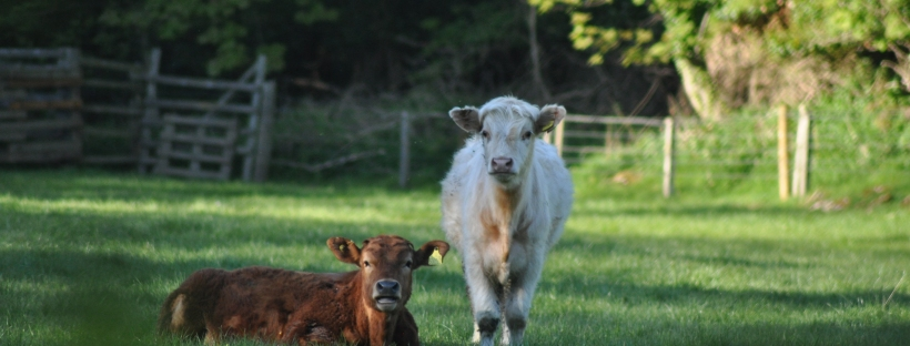 Young cows in a field