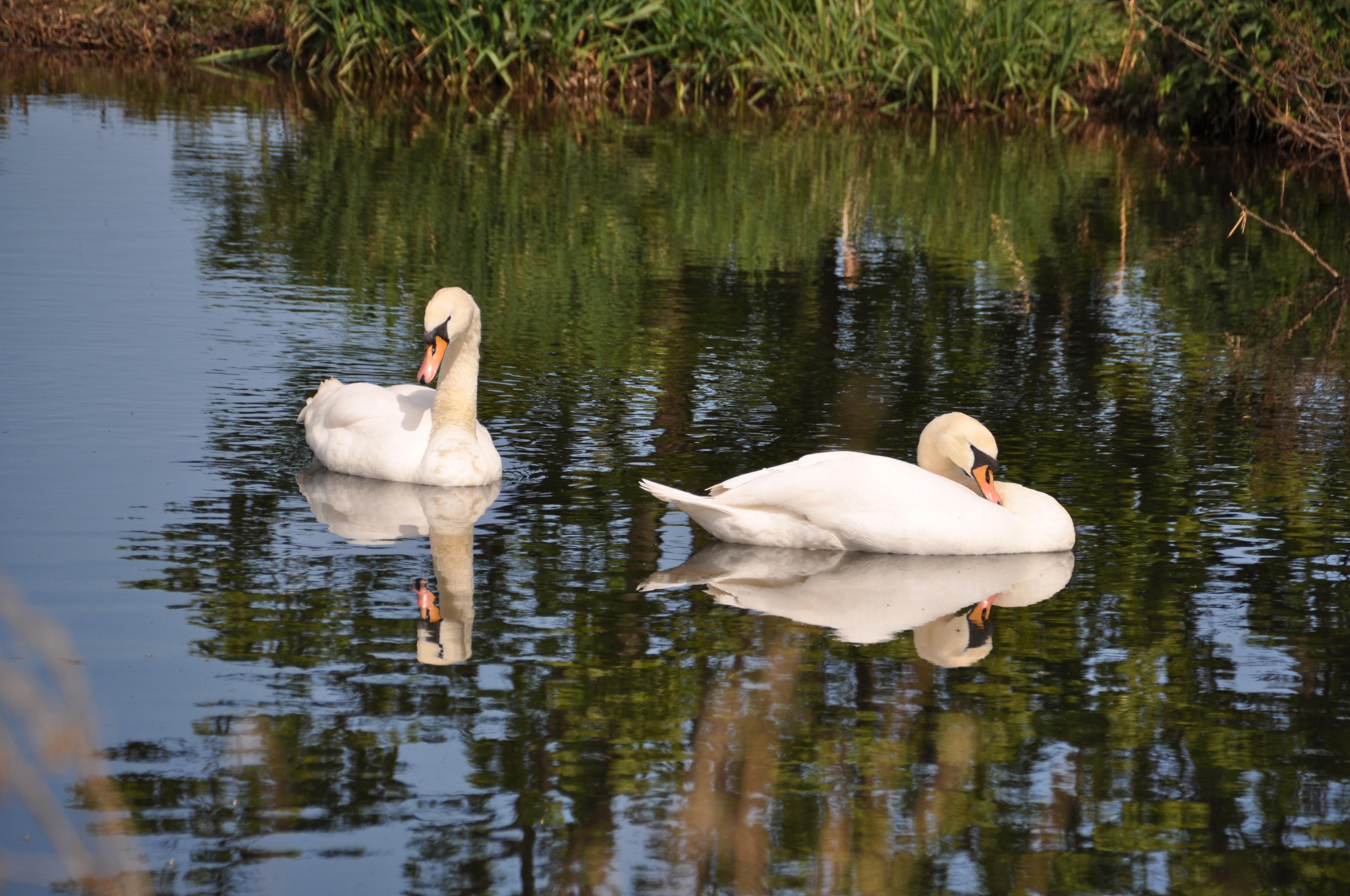 Swans on the River Tyne, East Linton, East Lothian.